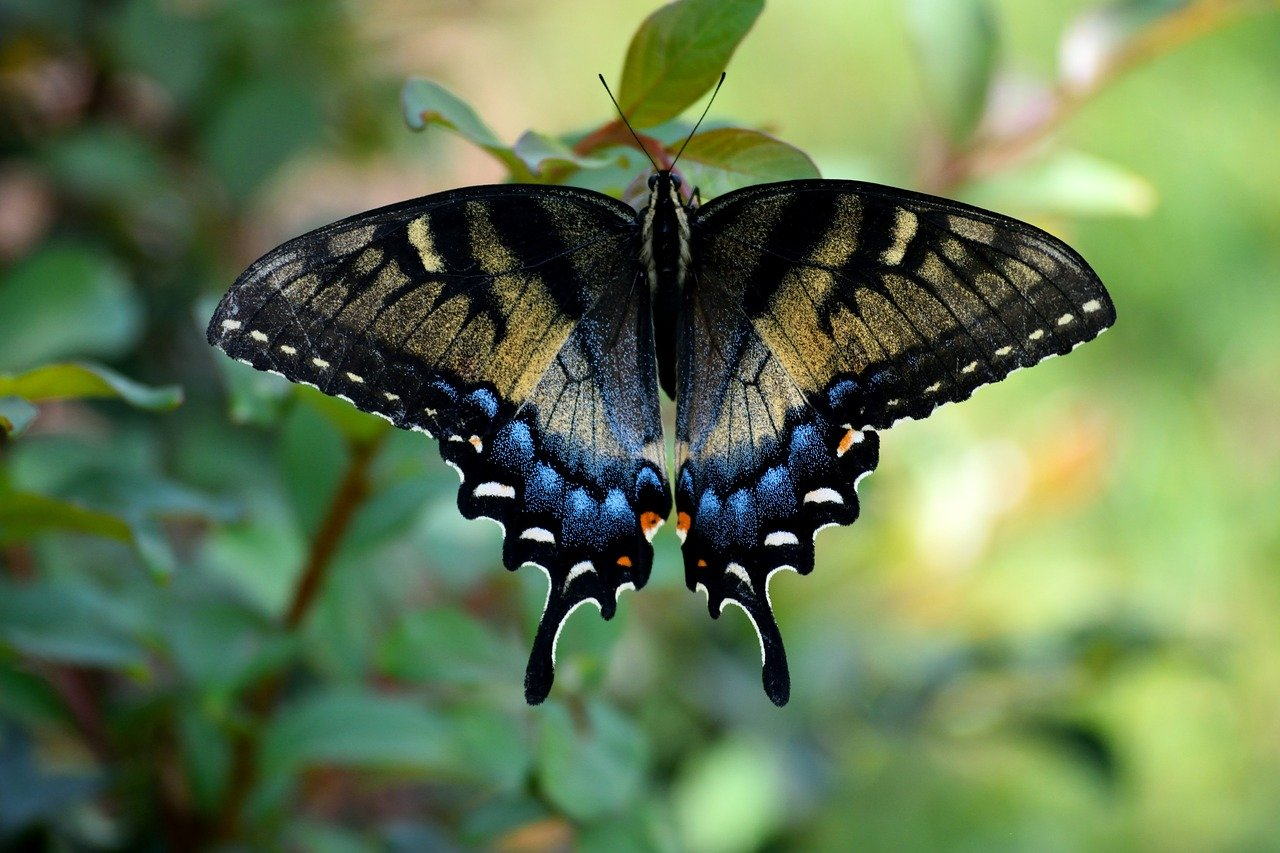 Бабочка алкиной
