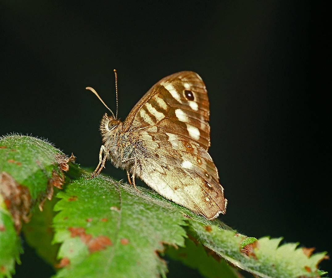 Суворовка (бабочка) википедия