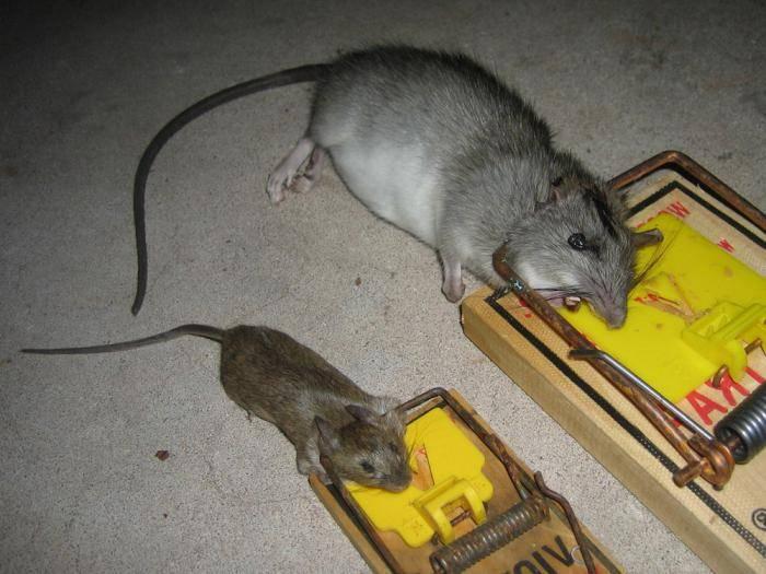 Как избавиться от крыс в частном доме, квартире, гараже и других местах: обзор способов и средств