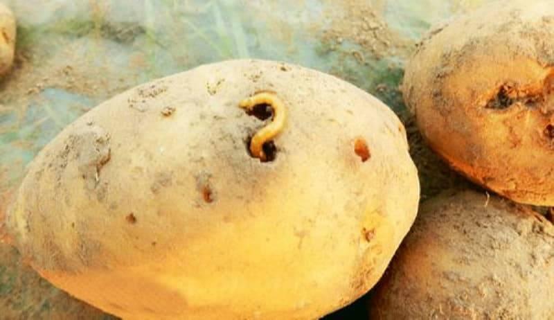 Меры борьбы с картофельной молью
