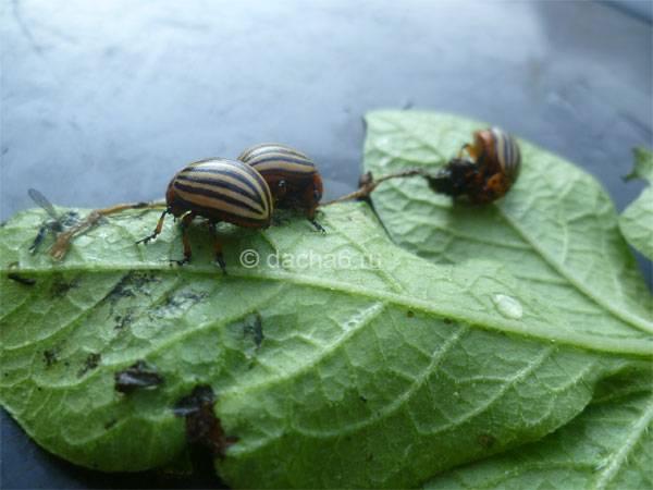 Эффективна ли горчица против колорадского жука