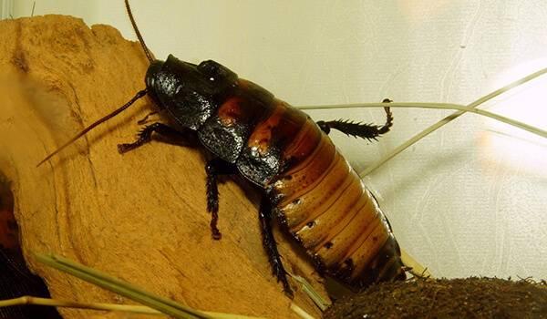 Тараканы африканские (американские)