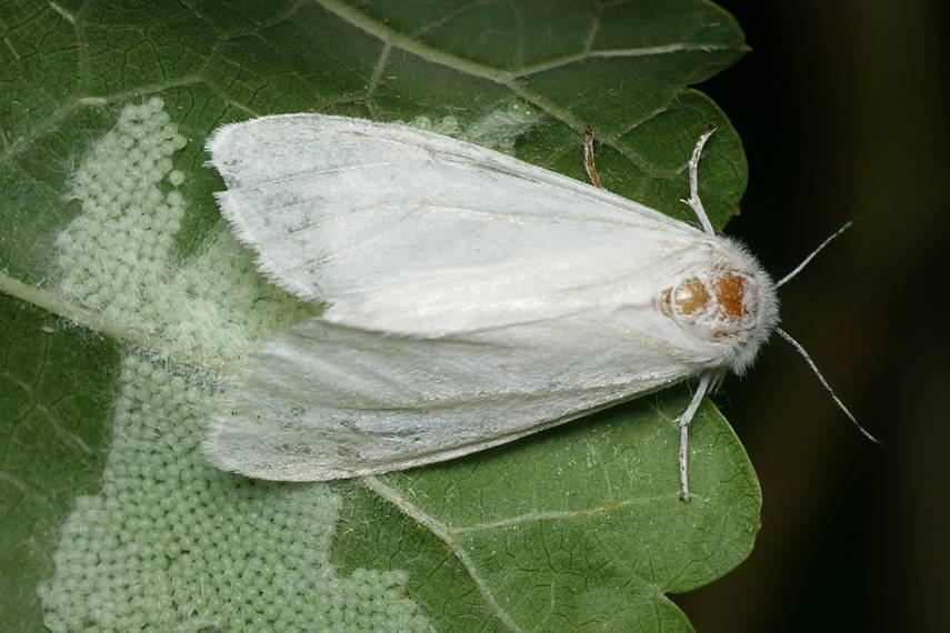 Какие бабочки угрожают вашему урожаю – фото и описания бабочек-вредителей - огород, сад, балкон - медиаплатформа миртесен