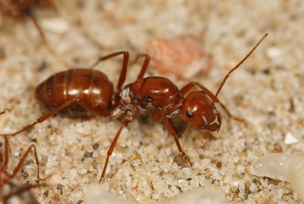 Виды муравьев: образ жизни и характеристика, описание