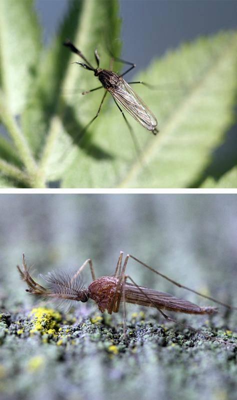 Чем питается самец комара обыкновенного, почему комары кусают, зачем пьют кровь