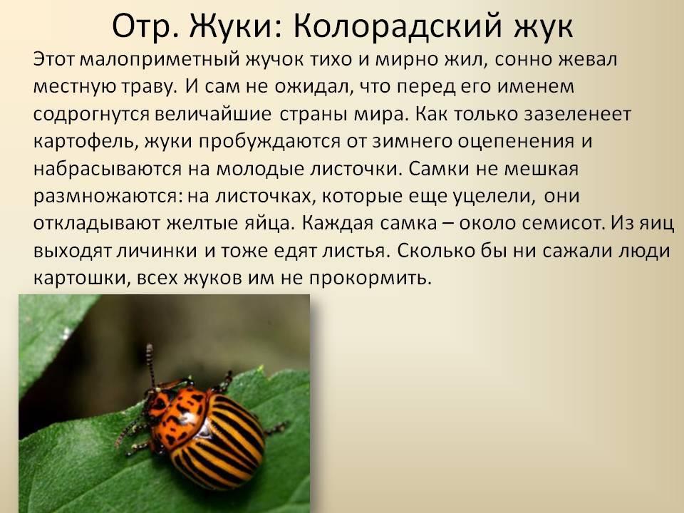 Колорадский жук: понятие, жизненный цикл, история борьбы