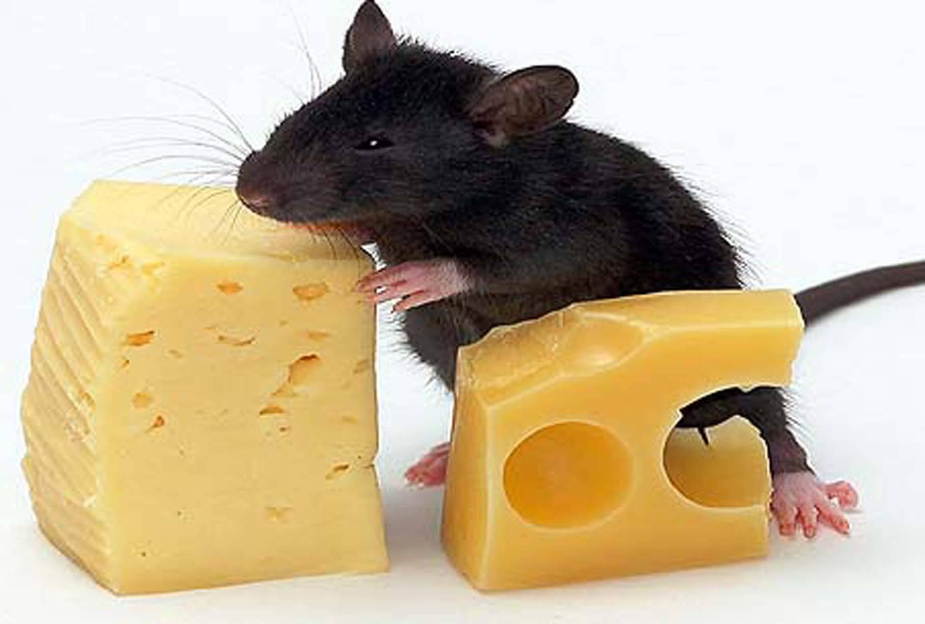 Выбираем лучший яд от крыс и мышей: топ-8 самых эффективных отрав