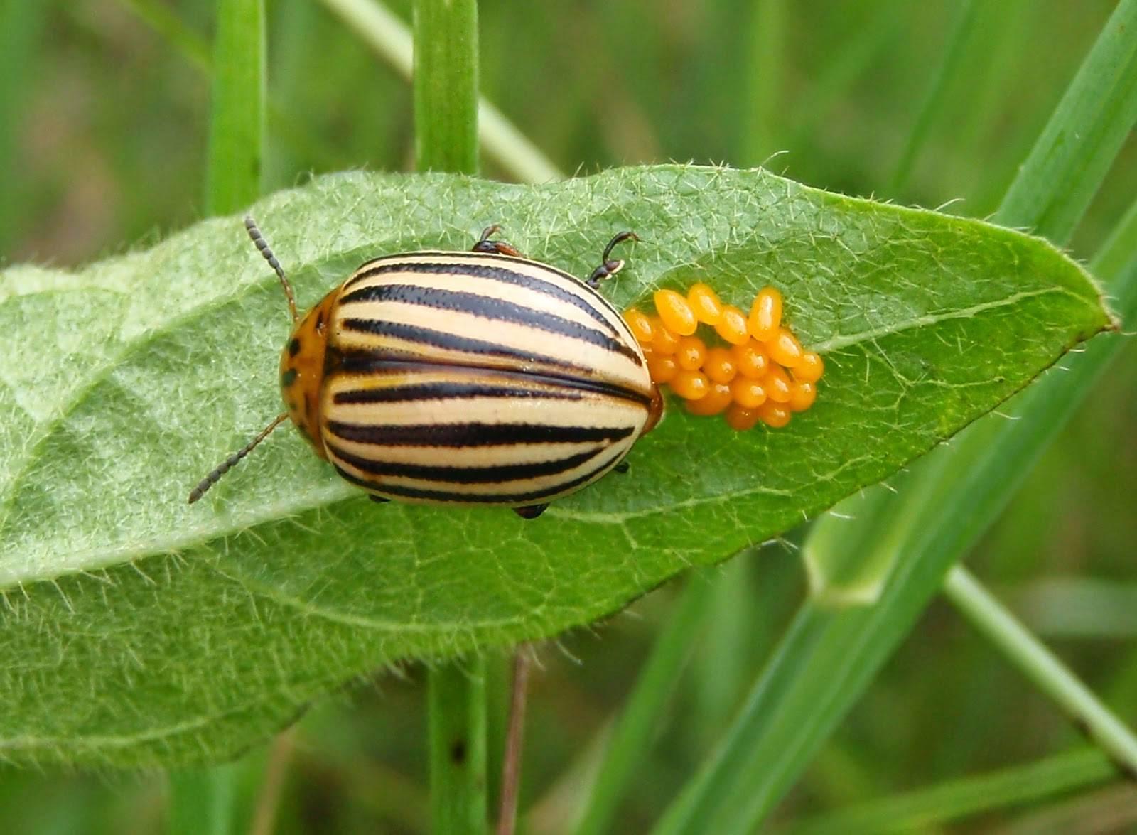 Колорадский жук - распространение, жизненный цикл и особенности