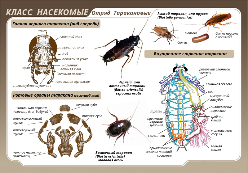 Таракан архимандрит: особенности внешнего вида и строения, за что это насекомое получило такое название