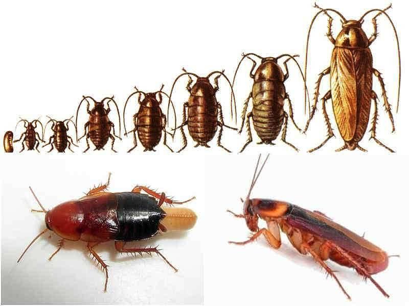 Особенности развития и борьбы с рыжими тараканами: развитие, опасность, уничтожение