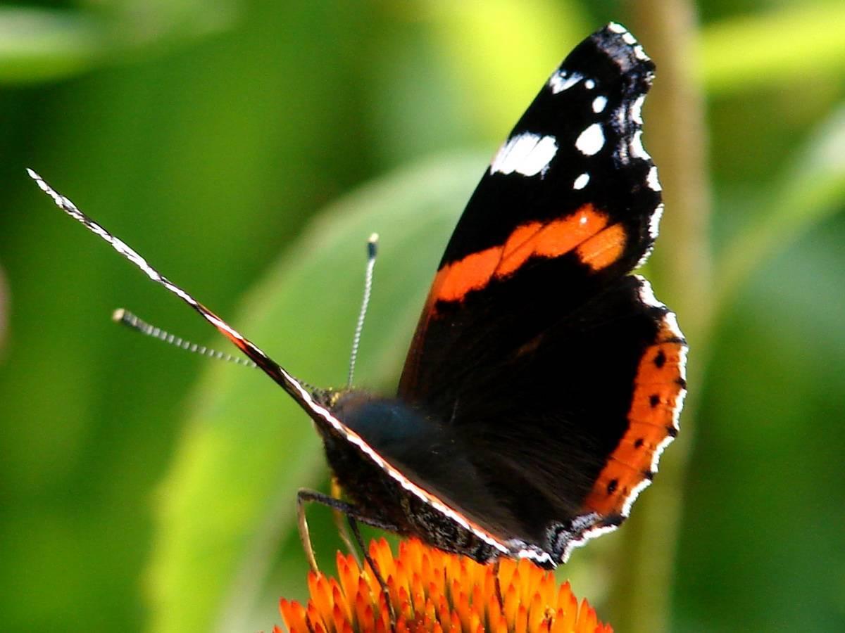 Махаон интересные факты. бабочка махаон: описание, интересные факты для детей. что любят бабочки махаон в домашних условиях, сколько живут? какого цвета бывают бабочки махаоны: фото. особенности и среда обитания