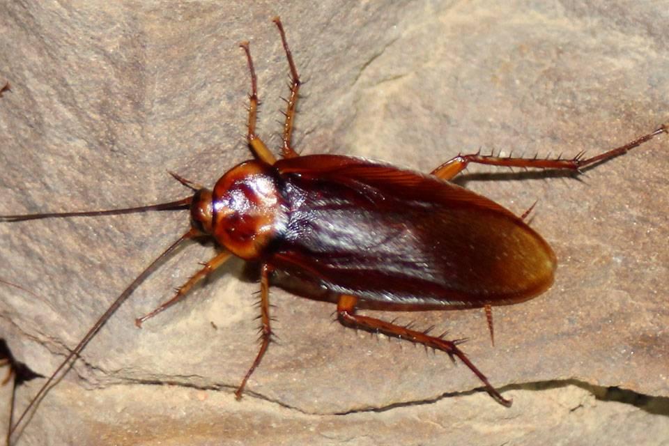 Американский таракан - где живет, что ест, чем опасен