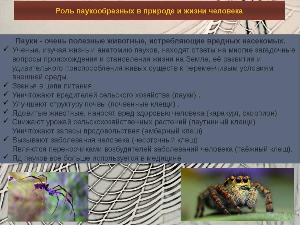 Значение пауков: насекомое это или нет, характеристика класса паукообразных с названиями