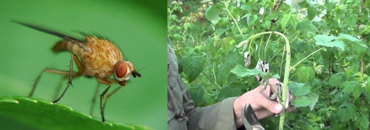 Малинная стеблевая муха - способы борьбы, как защитить урожай