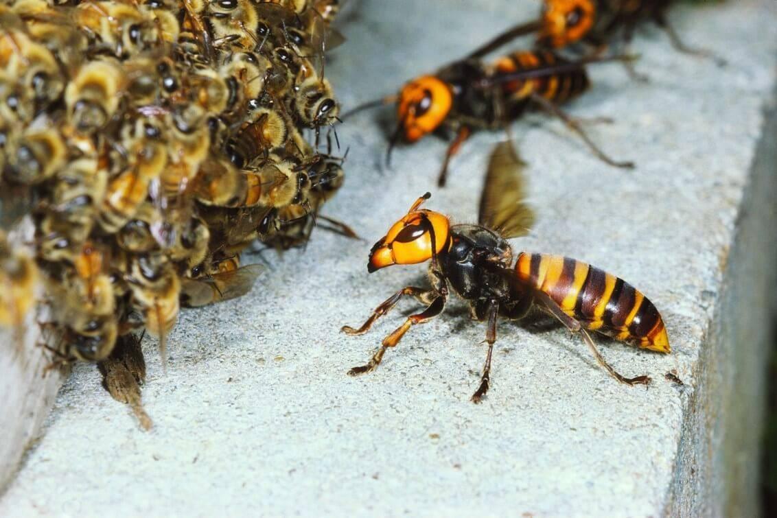 ✅ о матке осы: как выглядит и живет королева ос, размеры королевской особи - tehnomir32.ru