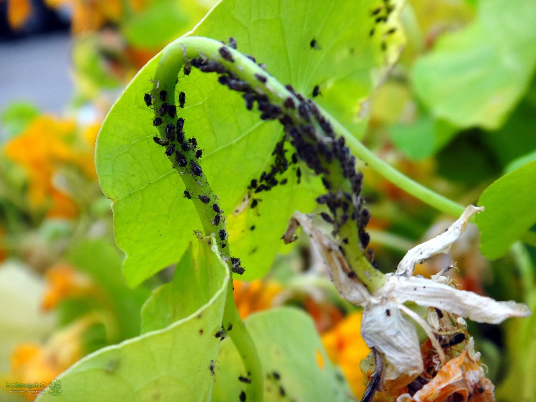 Как избавиться от тли на огурцах во время плодоношения