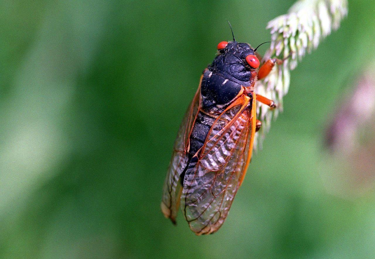 Насекомое цикада, как выглядит и где обитает: разновидности и особенности развития, чем питаются