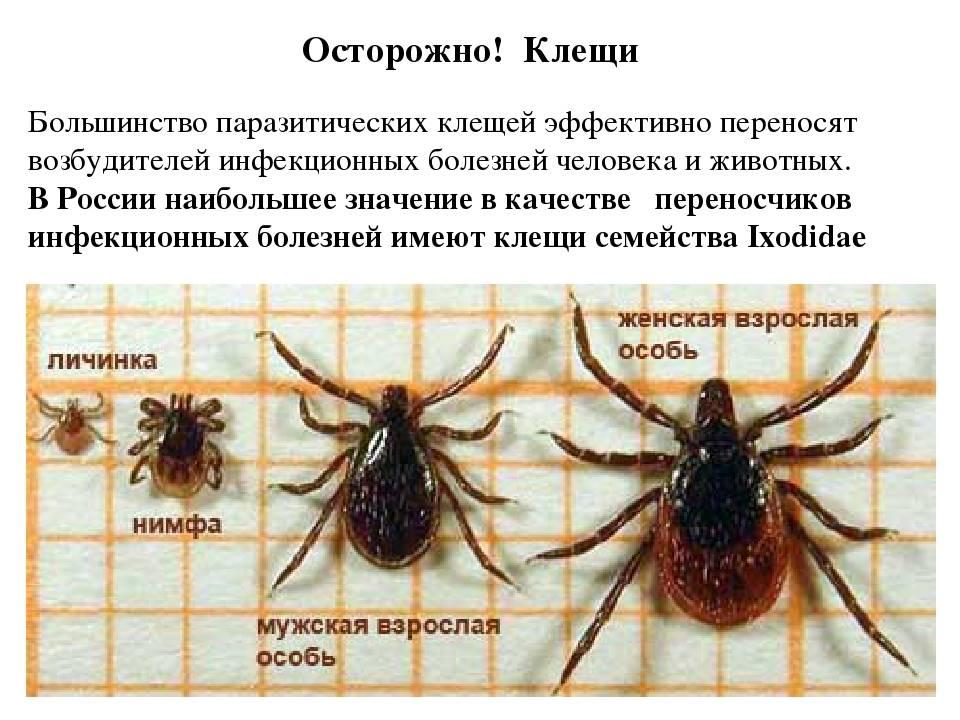 Сезон активности клещей в россии – когда начался и когда закончится?