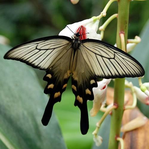 Бабочка парусник: фото и названия многочисленного семейства