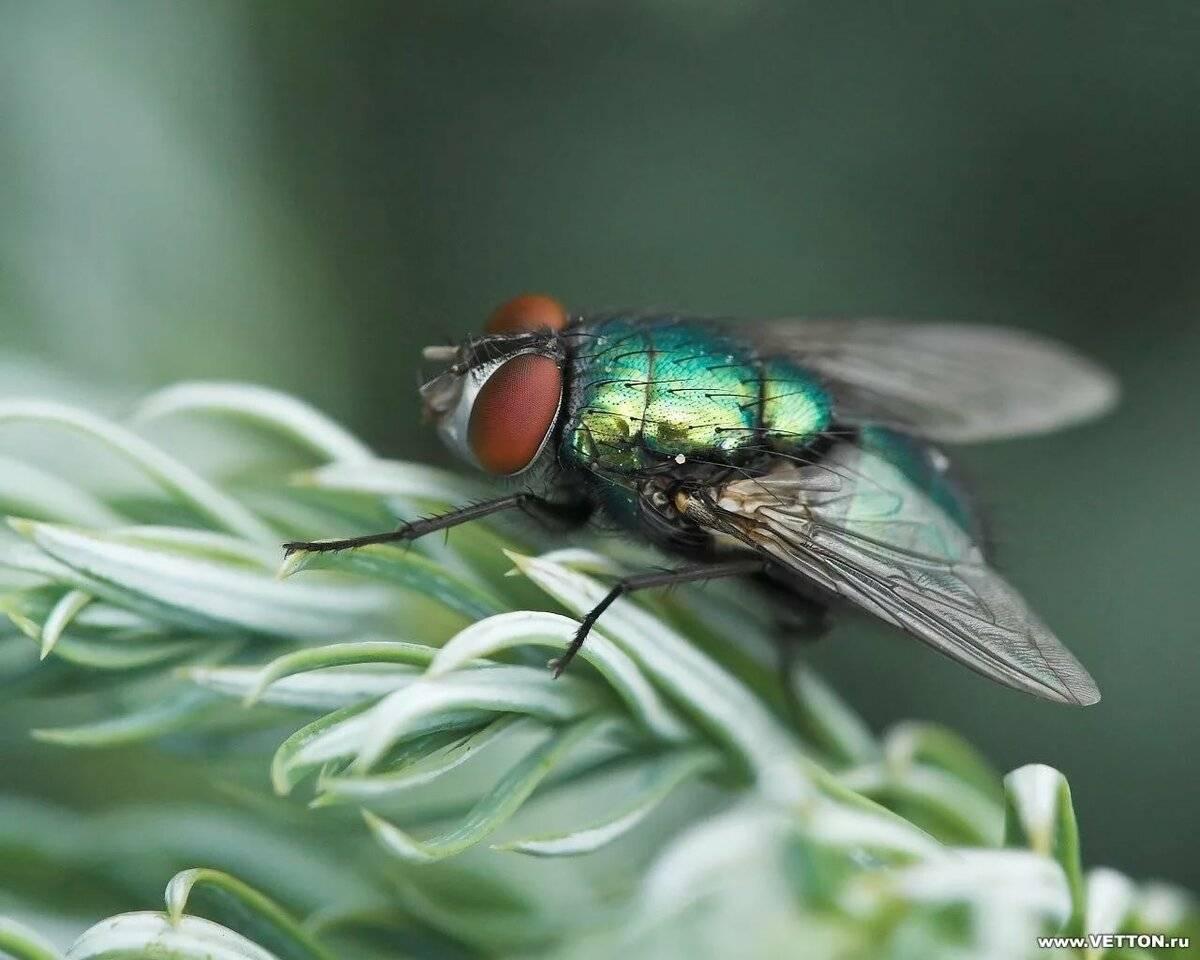 Вольфартова муха – фото и описание