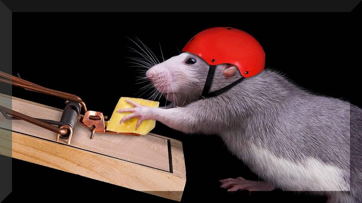 Чего боятся крысы – запахи, звуки, травы, свет, народные средства