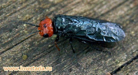 Звездчатый пилильщик – ткач  (acantholyda nemoralis thoms.)  насекомые-вредители леса уральского федерального округа