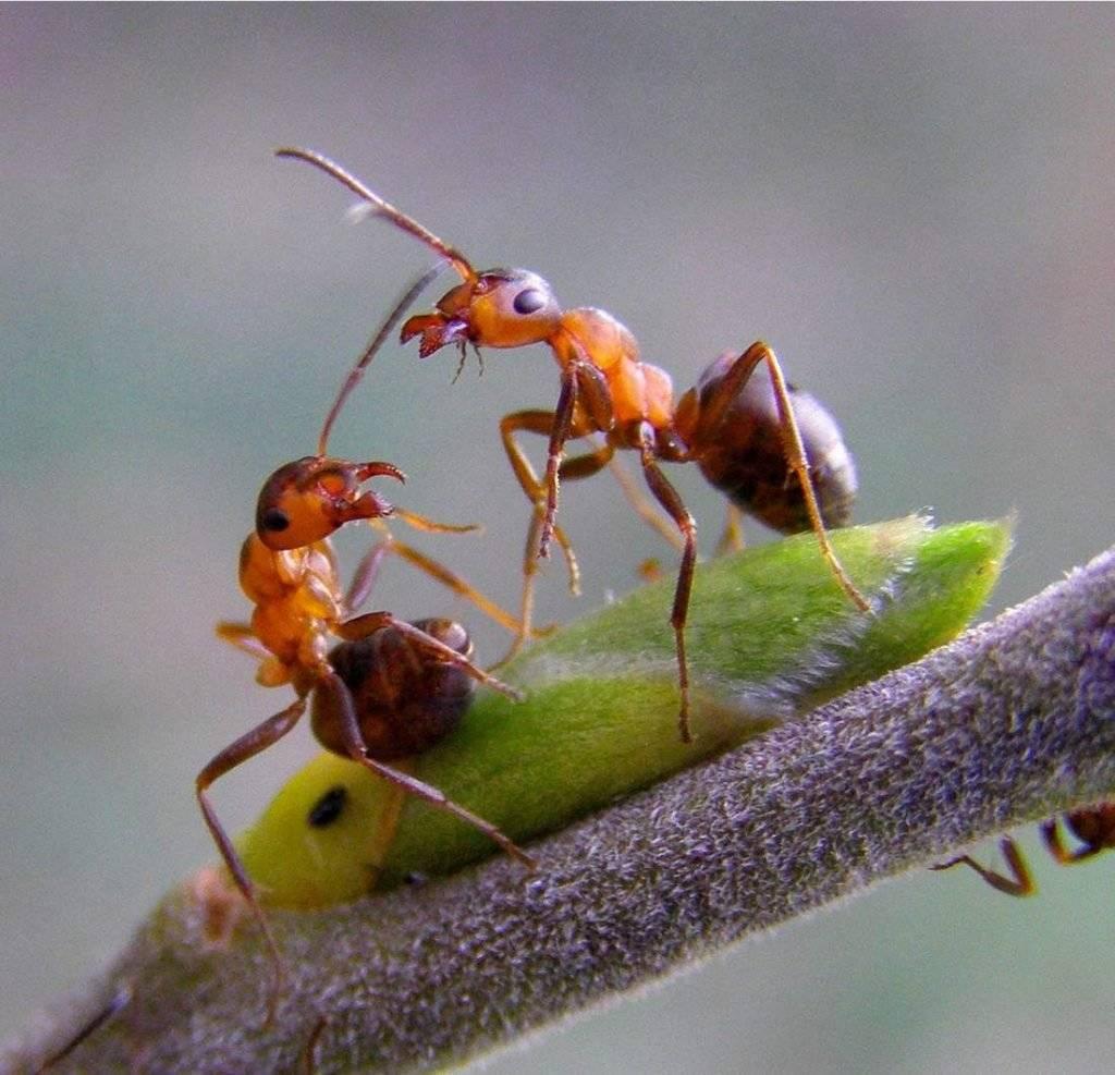 Муравьи в саду и на огороде: виды, откуда беруться, где живут и как от них избавиться, фото насекомых русский фермер