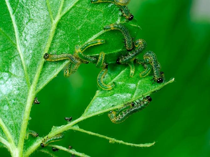 Вредители крыжовника и борьба с ними: фото, как избавиться от гусениц, вызывающих болезни растения