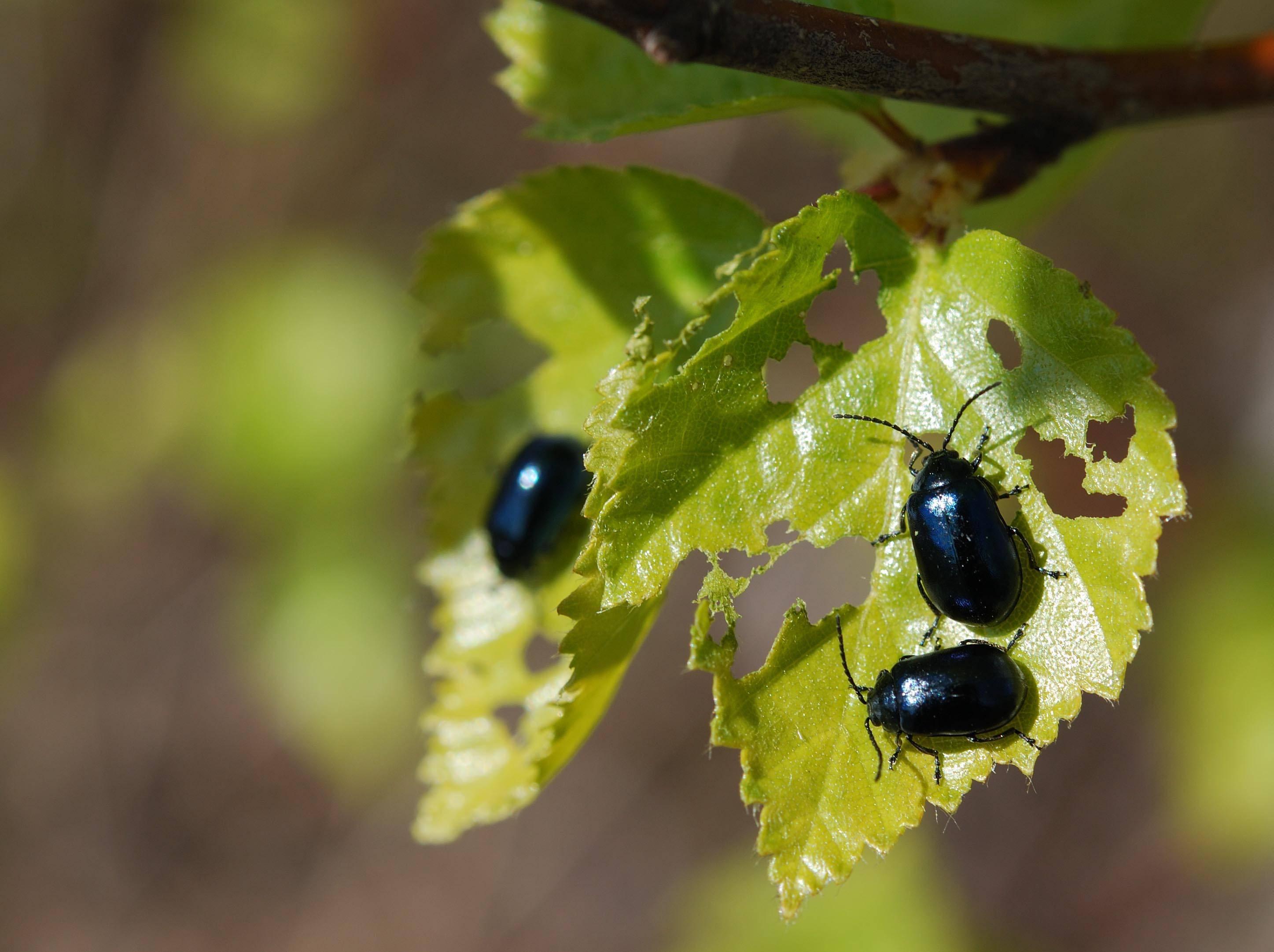 На щавеле зеленые жучки как избавиться: чем обрабатывать от вредителей
