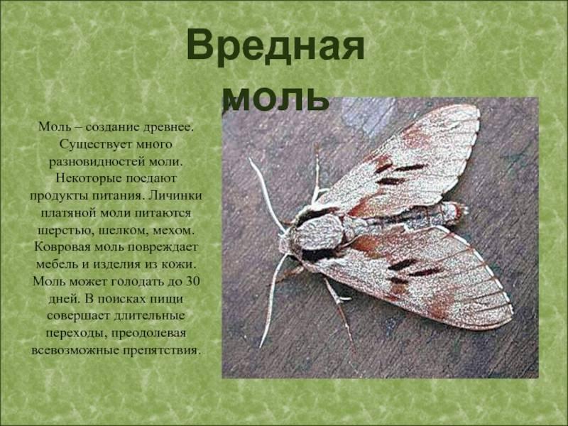 Моль: разновидности насекомого и принципы борьбы с ней
