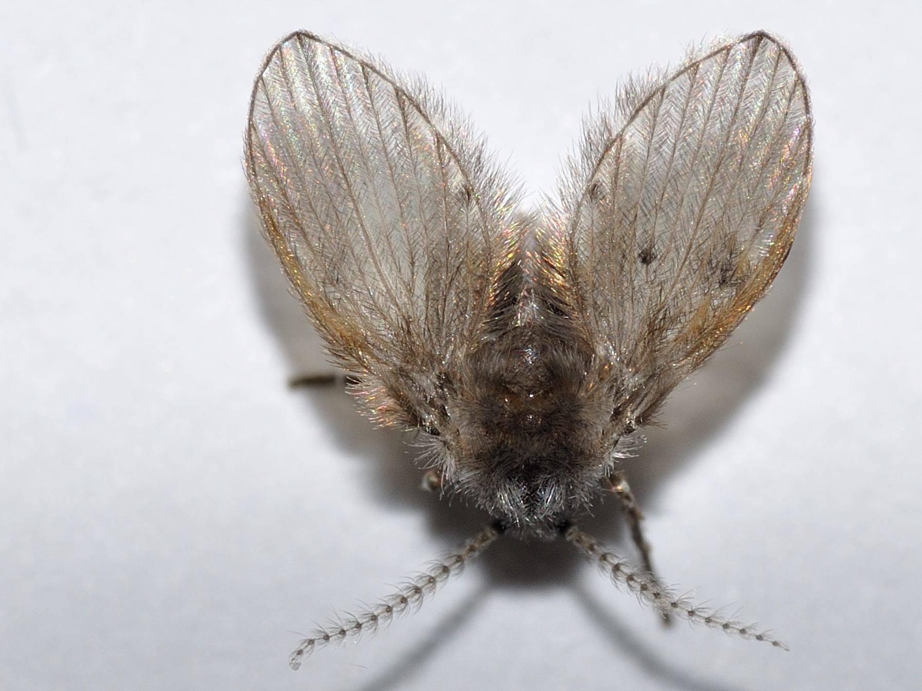Бабочка пеструшка таволговая: фото и интересные особенности насекомого