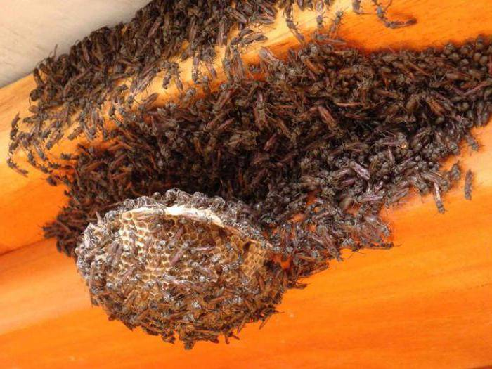Осиный мед и его особенности. существует ли осиный мед и чем он отличается от пчелиного?