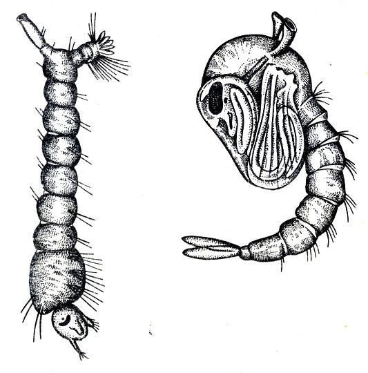 Как называется и чем питается личинка комара