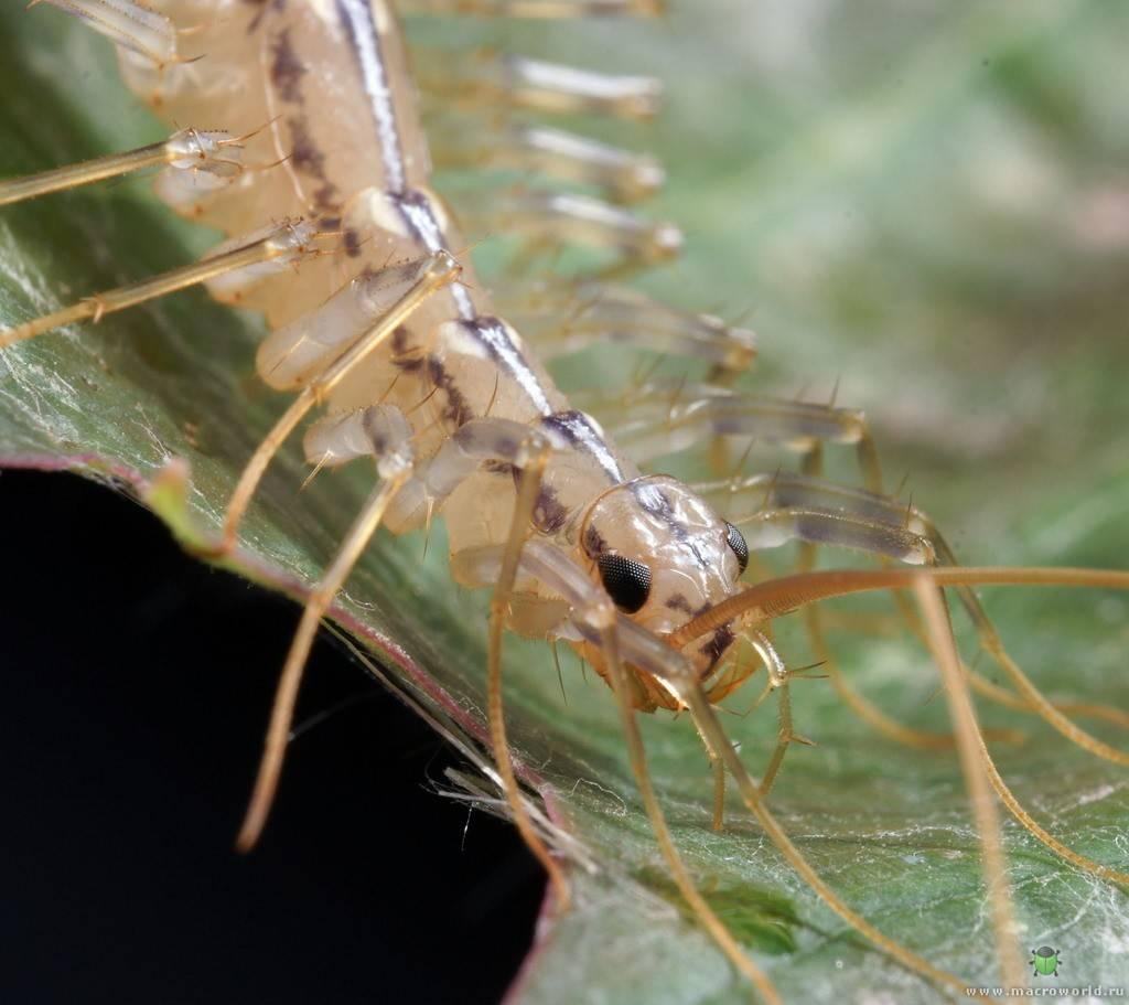 Мухоловка обыкновенная или сколопендра домашняя, что за насекомое?