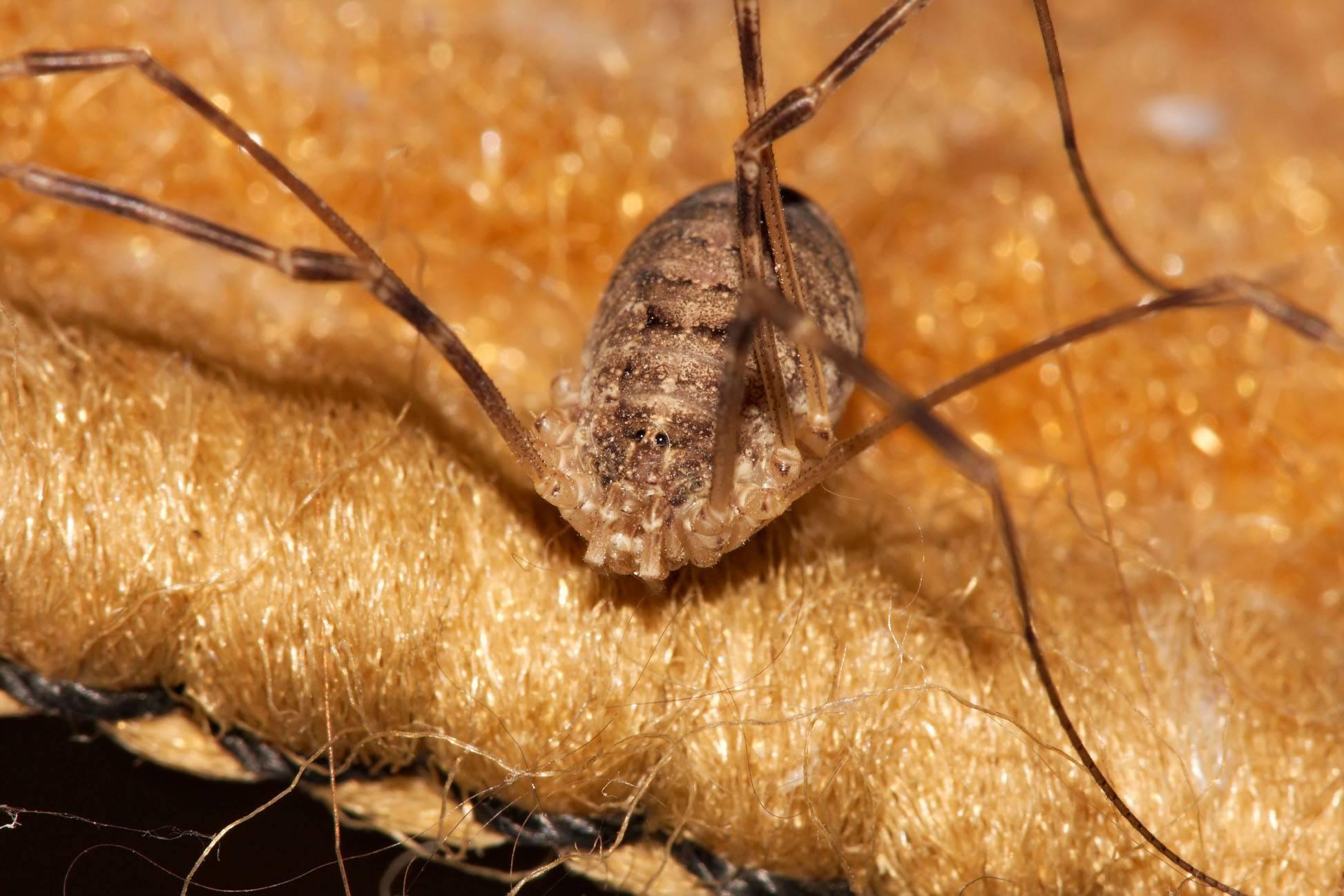 Паук косиножка (сенокосец): фото и описание, ядовитый или нет, чем питается