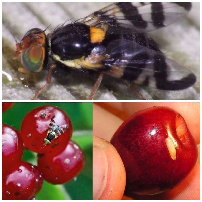 Фитоверм от вишневой мухи. как обнаружить и обезвредить вишневую муху. вред, наносимый вишневой мухой