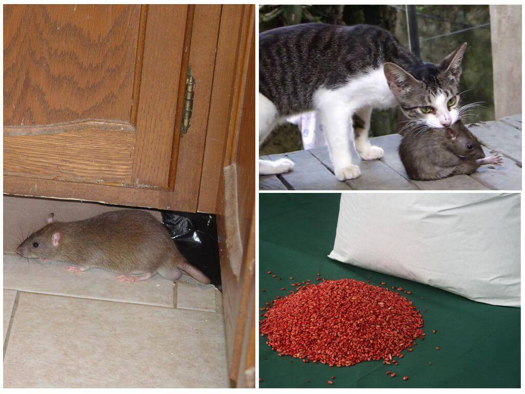 Как избавиться от крыс в частном доме навсегда - народными средствами