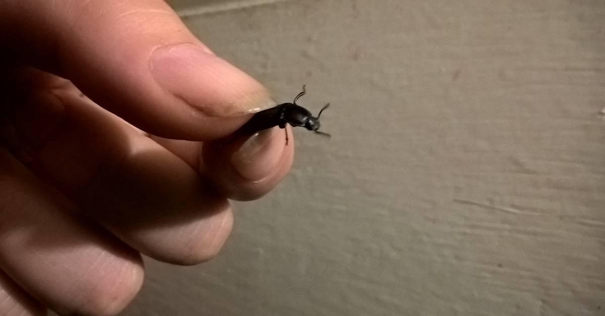 Что делать, если насекомое попало в ухо: первая помощь