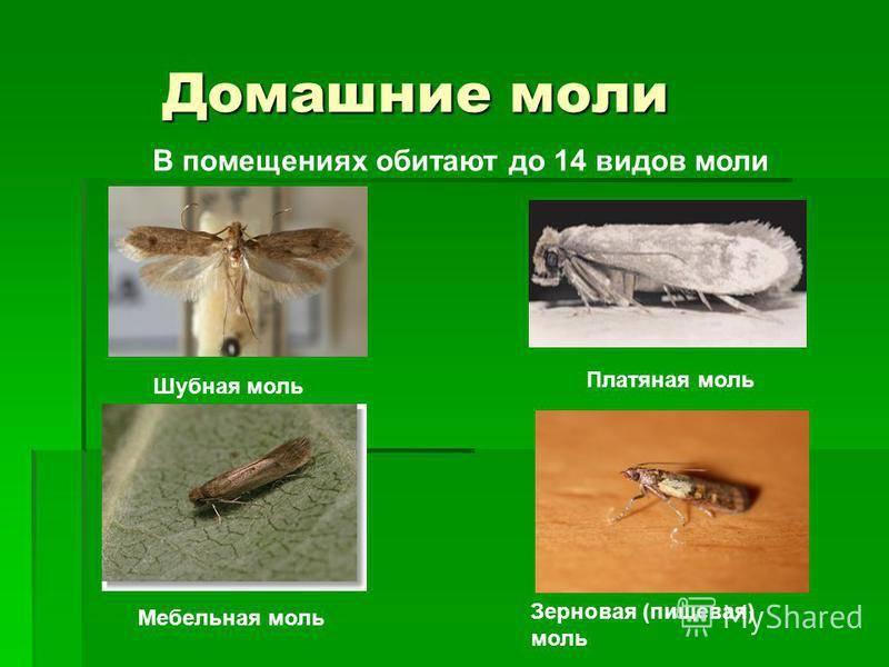 Причины появления и виды моли в квартире. как избавиться от насекомых народными средствами и иными способами?