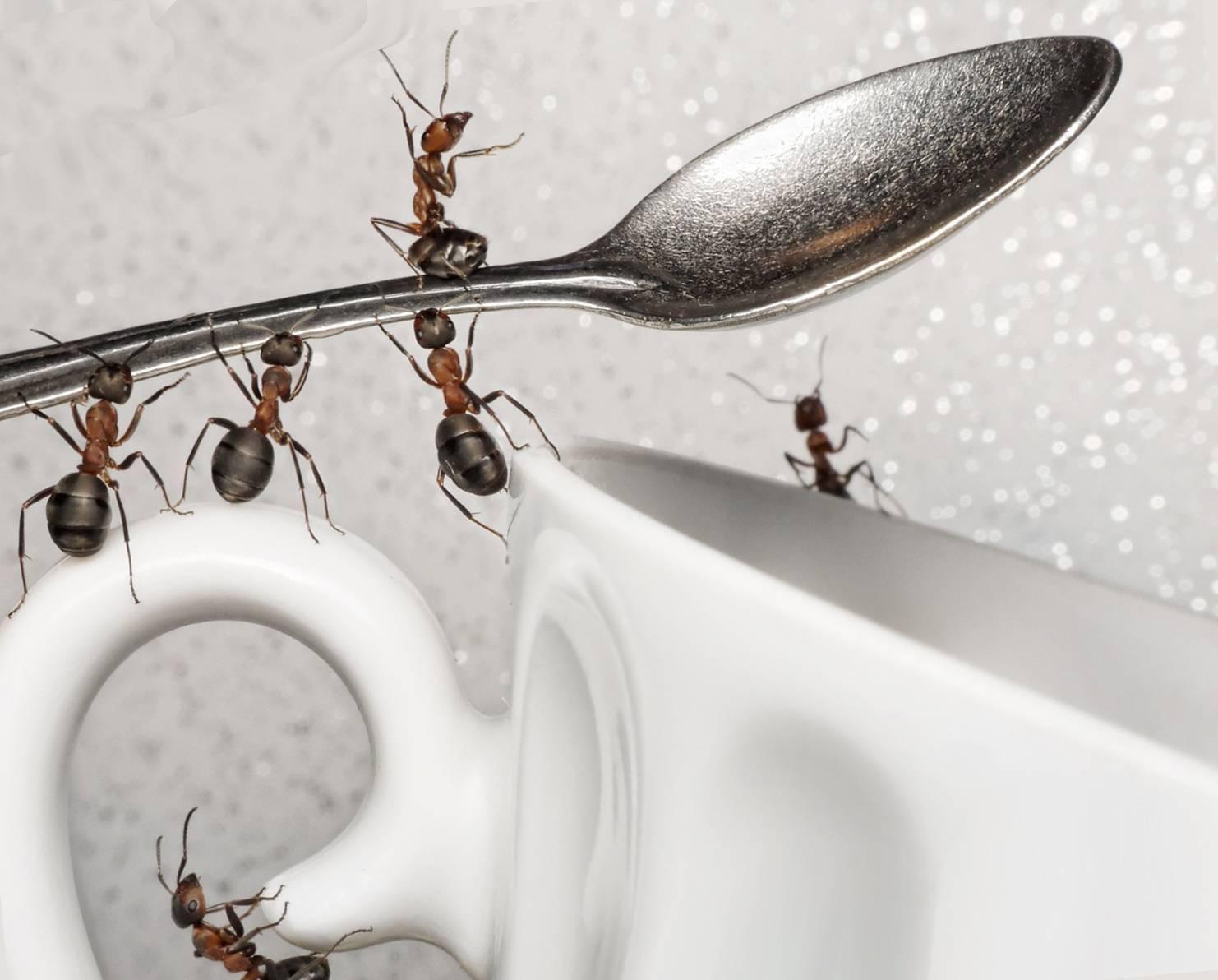 Фараоновы муравьи: чем опасны и способы борьбы