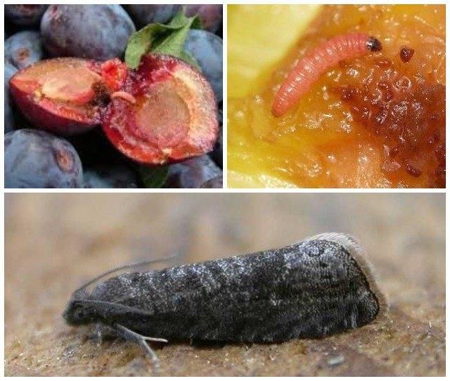 Плодожорка на яблоне: методы борьбы химическими и народными средствами