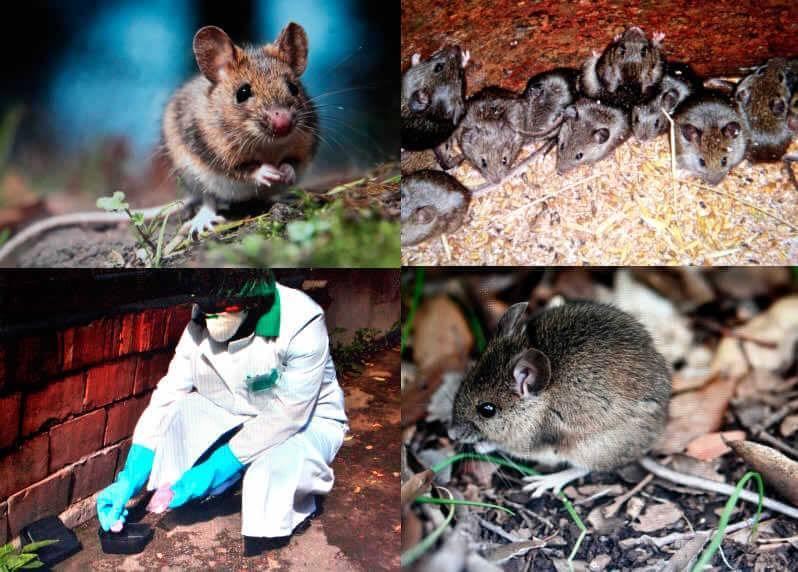 Уничтожение грызунов - дератизация крыс и мышей