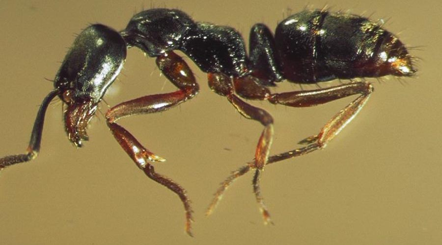 Самые большие муравьи в мире: топ-10 наиболее крупных особей