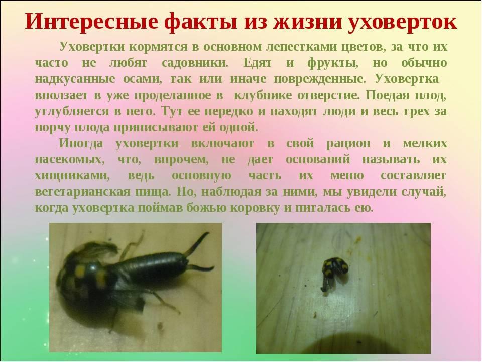 Насекомые уховертки: фото, описание, чем опасны