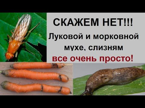 Морковная муха: фото и описание, как с ней бороться