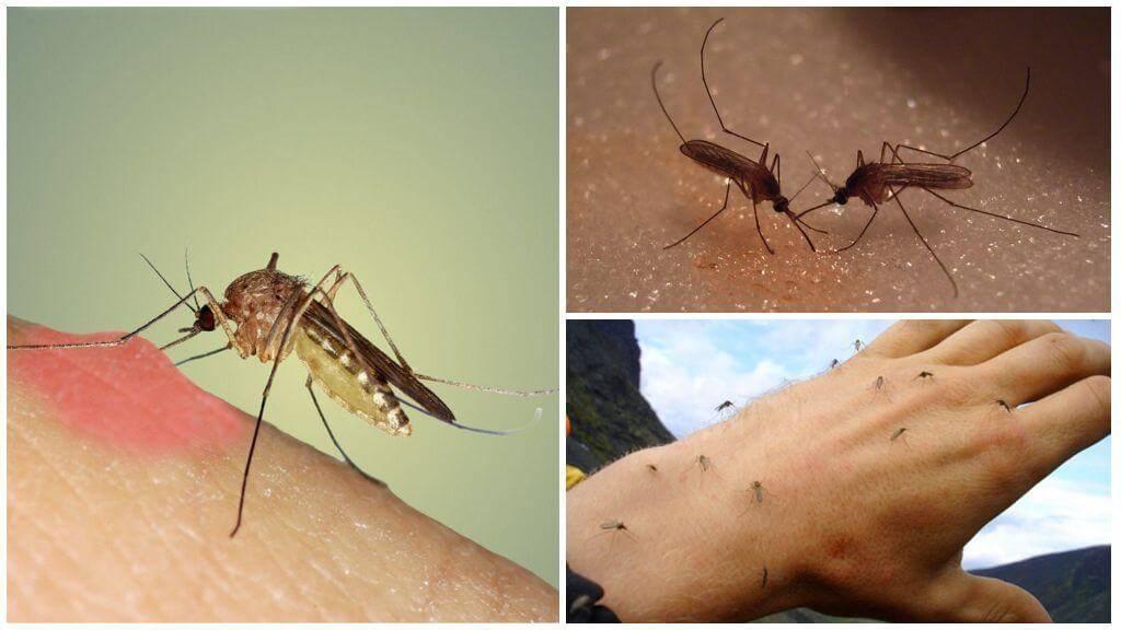 Какие болезни переносят тигровые комары и где с ними можно столкнуться?