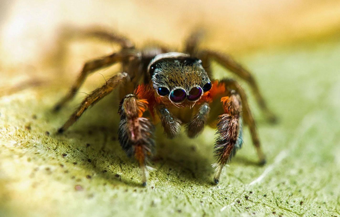 Паук-скакун (скакунчик): фото и описание, чем питается, опасен ли для человека