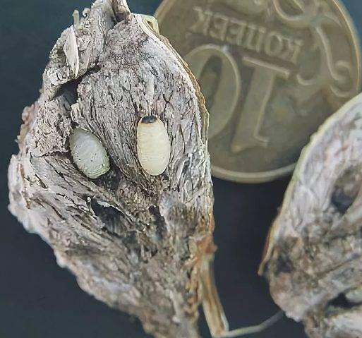 При какой температуре погибают яйца моли. личинки домашней моли: виды и методы борьбы с вредителем
