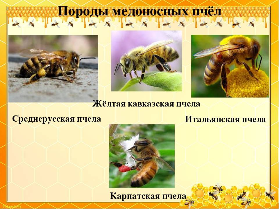 Карпатская порода пчел: описание, отличия, селекция