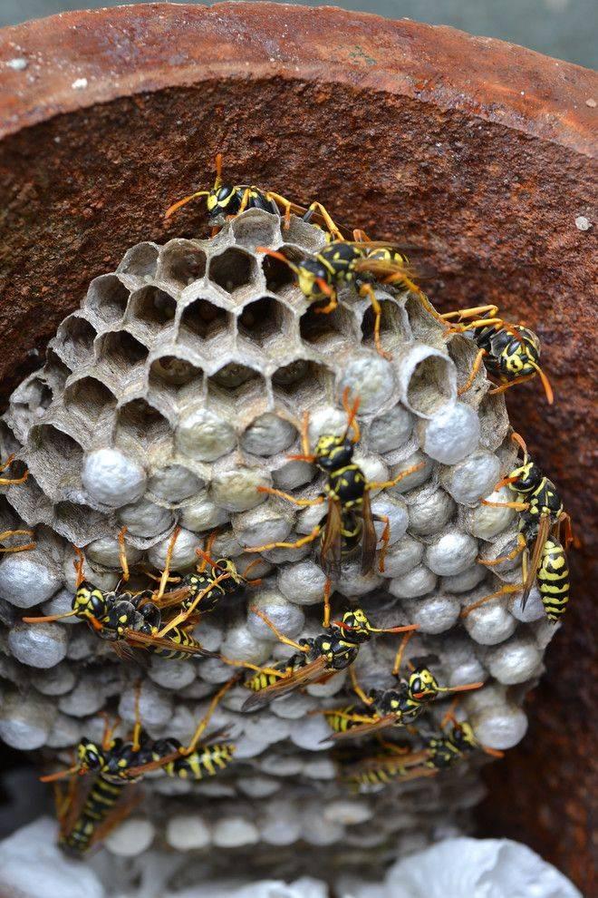 Чем интересна оса-наездник и за что она получила свое название? как выглядит паразитические осы-наездники и представляют ли опасность для людей